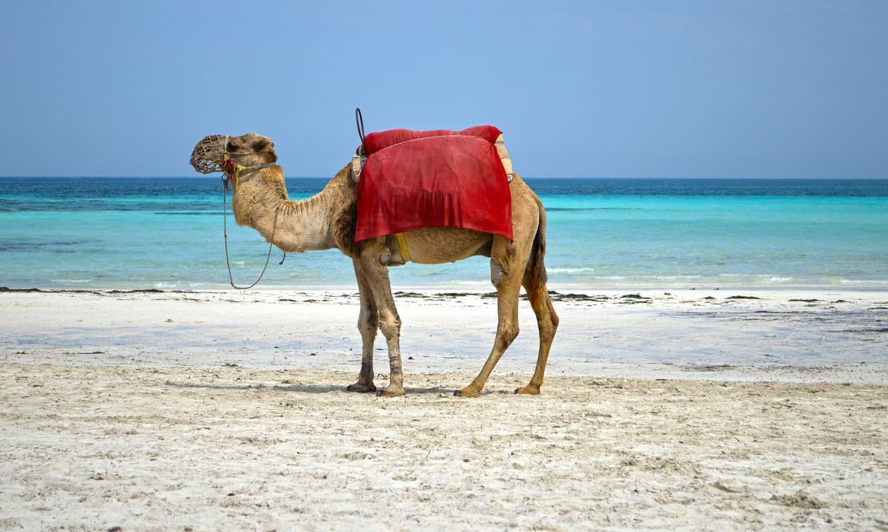 01096 djerba tunesien urlaub mittelmeer sommer strandurlaub erholung kamel palmen sandstrand